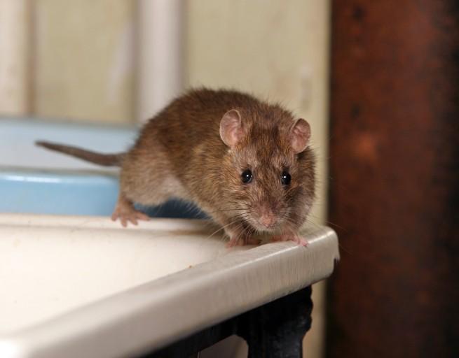 Que faut-il faire quand des rats s'invitent dans la maison